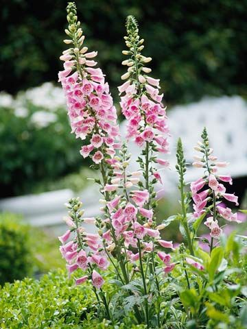 English Cottage Garden: List of Plants
