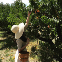 In Which I Find Myself Picking Peaches